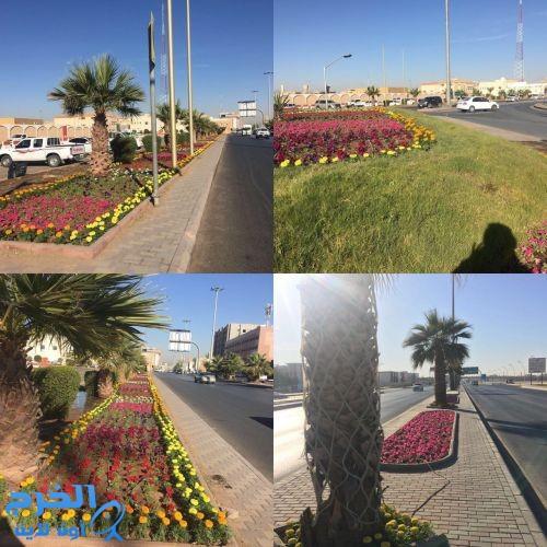 زراعة ٣٠٠٠٠٠ زهرة موسميه في شوارع الخرج
