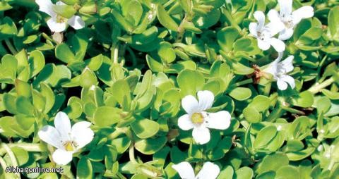 دراسات واعدة على نبات في سيناء لعلاج ألزهايمر