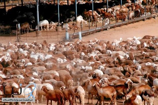 تعليق استيراد المواشي الحية من السودان وجيبوتي