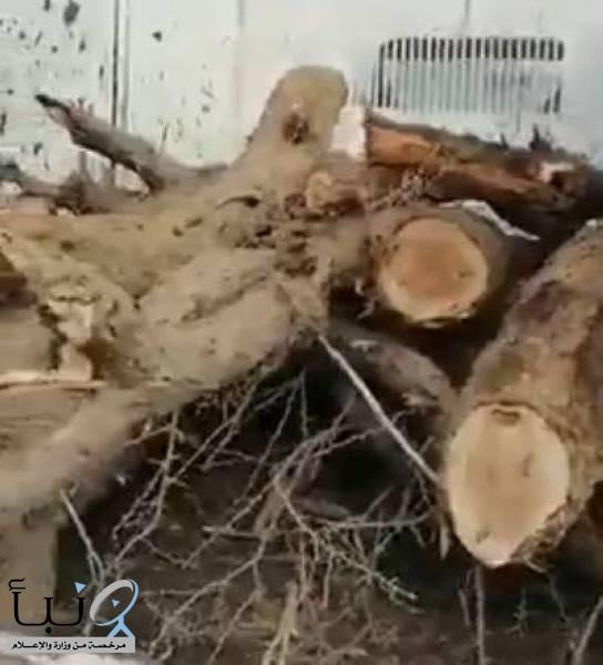 أمانة حائل: قطع أشجار «الطلح» اجتهاد فردي مخالف
