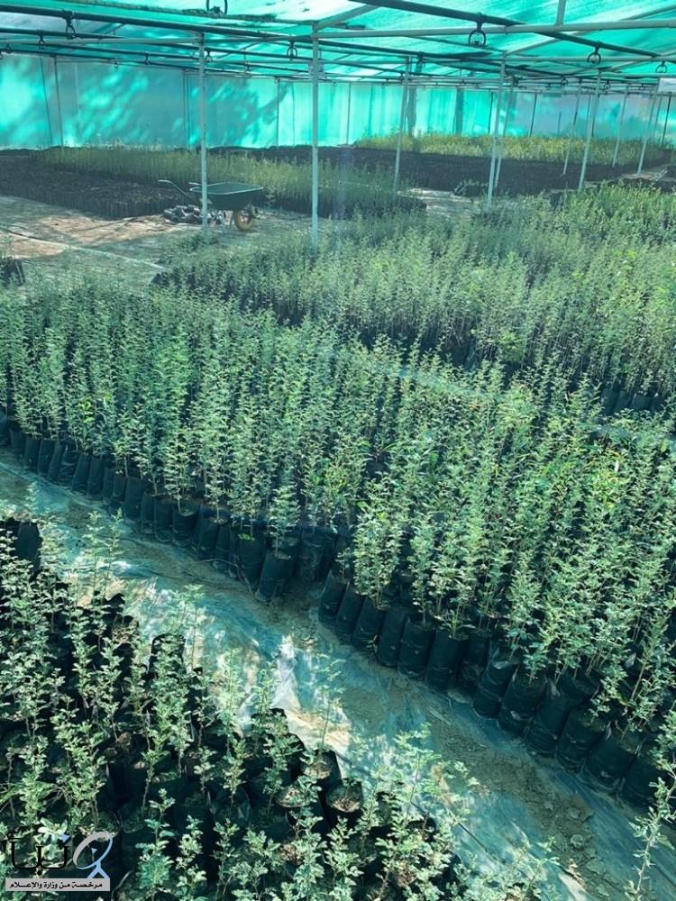 أمانة عسير تبدأ في توزيع 67 ألف شتلة لزيادة الغطاء النباتي