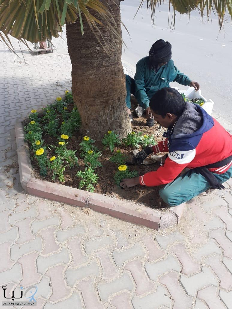 بلدية الخرج :  زراعة الورود في الجزر الوسطية للطرقات بالخرج .