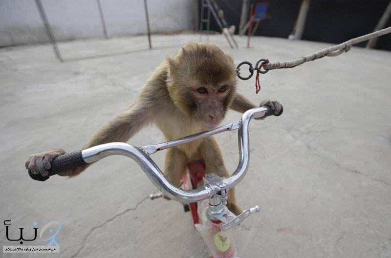 قرد على دراجة يحاول خطف طفل.. وفيديو يوثق الواقعة