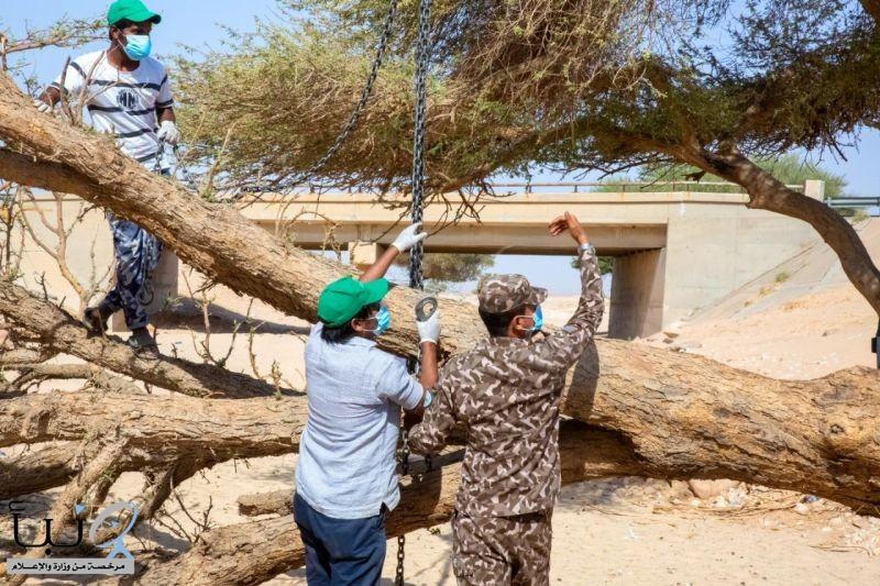 """""""الأمن البيئي"""" ينقذ شجرة طلح معمّرة جرفتها السيول بالثمامة"""