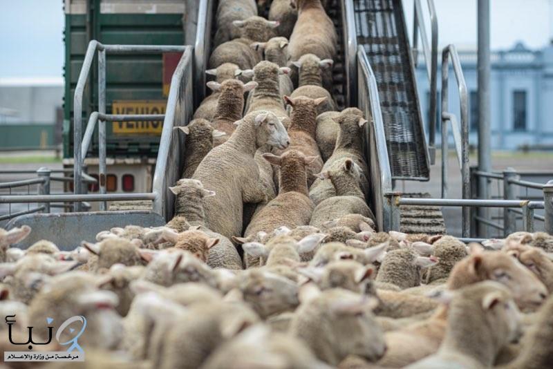 بعد توقف 10 سنوات.. السعودية تسمح باستيراد الماشية من #أستراليا