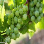 فوائد لامتناهية للعنب الأخضر .. قيمة غذائية عالية للحامل