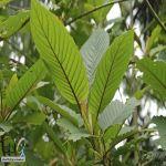 وزير إندونيسي: أوراق شجرة تقضي على #كورونا